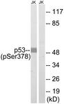A8054-1 - TP53 / p53