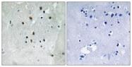 A8062-1 - Serum response factor (SRF)