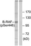 A8082-1 - B-Raf proto-oncogene