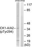 A8088-1 - CSNK1A1