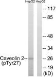 A8264-1 - Caveolin-2