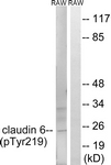 A8320-1 - Claudin-6 / CLDN6
