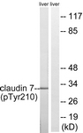A8321-1 - Claudin-7 / CLDN7