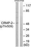 A8324-1 - DPYSL2 / CRMP2