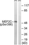 A8370-1 - MEF2C