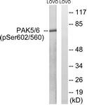 A8394-1 - PAK7 / PAK5