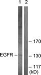 B0009-1 - EGFR / ERBB1
