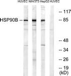 B0013-1 - HSP90AB1 / HSP90 beta