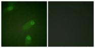B0021-1 - NF-kB p105 / p50