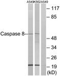 B0059-1 - Caspase-8 / FLICE