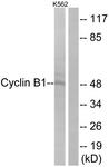 B0068-1 - Cyclin B1
