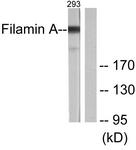 B0072-1 - Filamin-A
