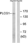 B0079-1 - PLCG1