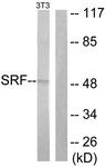 B0088-1 - Serum response factor (SRF)