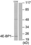 B0402-1 - EIF4EBP1 / 4E-BP1