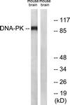 B0422-1 - Dynamin-1