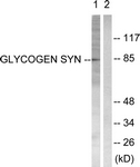 B0431-1 - Glycogen Synthase