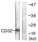 B0468-1 - CD247 / CD3Z