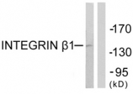 B0491-1 - CD29 / Integrin beta-1