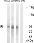 B0494-1 - CD220 / INSR
