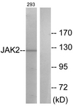 B0499-1 - Tyrosine-protein kinase JAK2