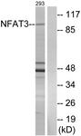 B0521-1 - NFATc4 / NFAT3