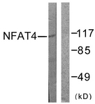B0522-1 - NFAT4 / NFATC3