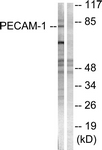 B0547-1 - CD31 / PECAM1