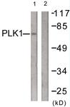 B0554-1 - PLK1