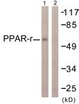 B0557-1 - PPAR-gamma