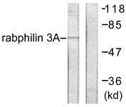 B0563-1 - Rabphilin-3A / RPH3A