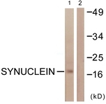 B0582-1 - Alpha-Synuclein / SNCA
