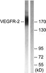B0595-1 - CD309 / VEGFR-2 / Flk-1