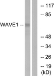 B0598-1 - WASF1 / WAVE1