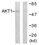 B0608-1 - AKT1 / PKB