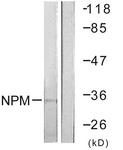 B0694-1 - Nucleophosmin