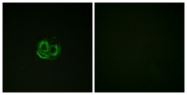 B0762-1 - alpha 1 cardiac muscle Actin / ACTC1
