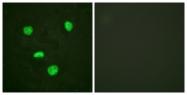 B0792-1 - Histone H3.3