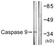 B0832-1 - Caspase-9