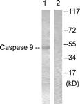 B0834-1 - Caspase-9