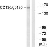 B0838-1 - CD130 / IL6ST