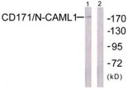 B0841-1 - CD171 / L1CAM