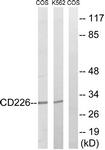 B0843-1 - CD226 / DNAM1