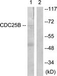 B0855-1 - CDC25B
