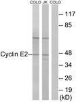 B0880-1 - Cyclin E2