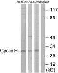 B0881-1 - Cyclin H