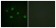 B0907-1 - DNA-PKcs / PRKDC / XRCC7