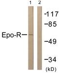 B0917-1 - Erythropoietin receptor