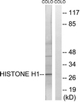 B0948-1 - Histone H1.5