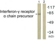 B0953-1 - CD119 / IFNGR1